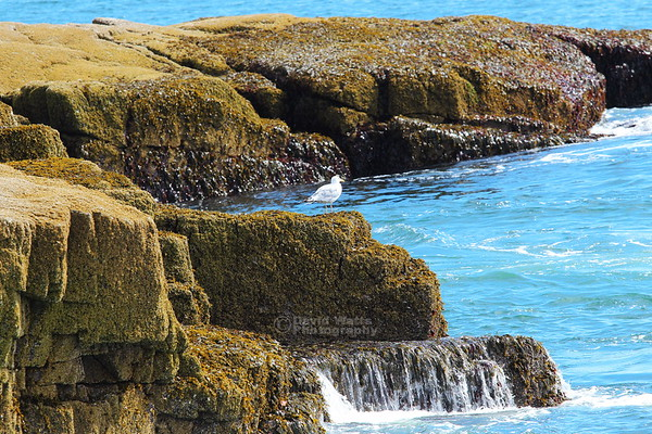 Schoodic Point Gull