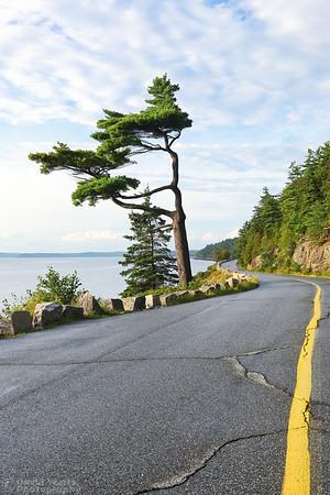 The Big Bonsai Tree on Sargent Drive