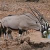 Oryx (Gemsbok in South Africa)