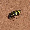 One of many varieties of beetle