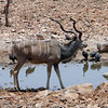 Male Kudu - check the horns