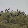 African Openbill (Anastomus lamelligerus) and Black-headed Heron (Ardea melanocephala)