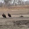 Lappet-faced Vultures (Torgos tracheliotus)and Pied Crow (Corvus alba)
