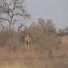 Giraffe (Giraffa camelpardalis) Waza NP