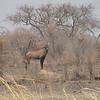 Roan Antelope (Hippotragus equines) Waza NP.