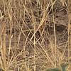 Quail-Plover (Ortyxelos meiffrenii)