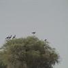 Black Crowned-Crane (Balearica pavonina)
