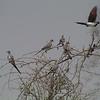 Namaqua Doves (Oena capensis)