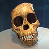 Skull of later hominid.