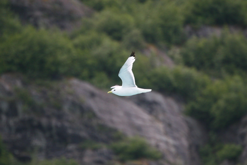 A gull in flight