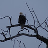 This eagle had a great perch above the river and valley.