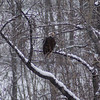The first of many bald eagles.