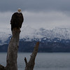 Bald eagle in Homer