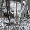 Two moose seen near the side of the road.