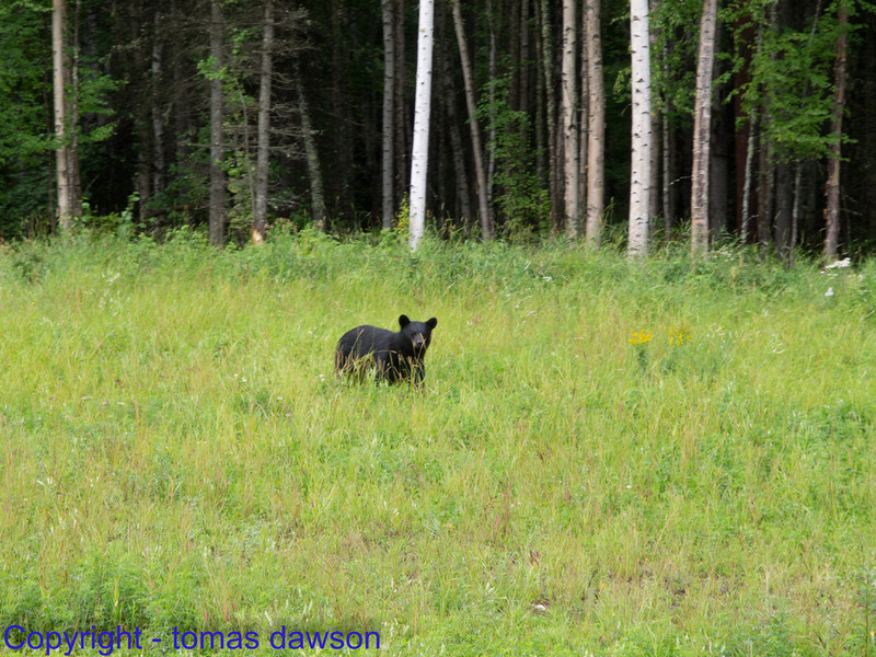 A Black bear on the side of the Alaska Highway