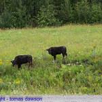 Bison calves on the roadside