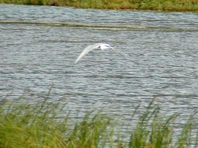 Arctic Tern @ Tern Lake [Sterling Highway]