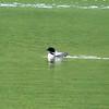 Common Loon @ Summit Lake [Seward Highway]