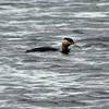 Red-necked Grebe @ Potter Marsh (Boardwalk)