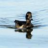 Ring-necked Duck @ Lake Spenard & Lake Hood