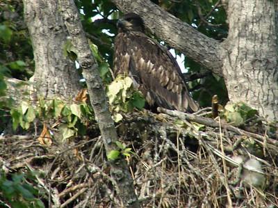 Bald Eagle (Juvenile) @ Kenai River Flats