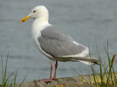 Glaucous-winged Gull @ Kenai River Flats