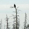 Bald Eagle @ Kenai River Flats