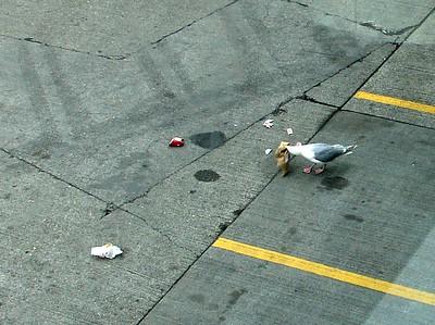 Glaucous-winged Gull @ Seattle-Tacoma International Airport (SEA)