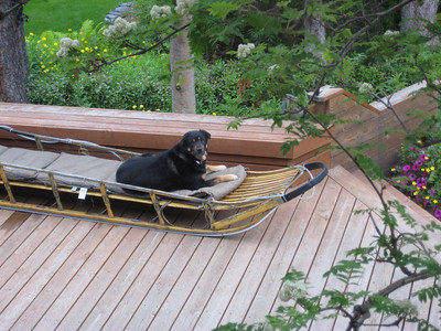 June 27, 2009 (Anchorage, Alaska) - Cisco the resident dog resting in a dogsled at the Alaskan Frontier Gardens Bed & Breakfast where we stayed. Cisco adopted us