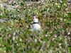 June 29, 2009 (Denali Highway [Tangle Lakes - near highway] / Alaska) -- Semipalmated Plover