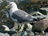 June 24, 2009 (Westchester Lagoon, Anchorage, Alaska) - Western Gull