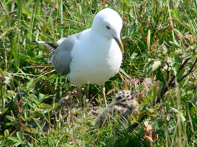 June 25, 2009 (Potter Marsh [by New Seward Highway pulloff], Anchorage, Alaska) -- Mew Gull with chick