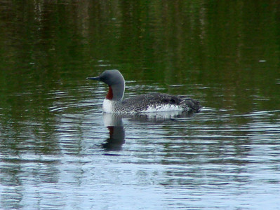 June 26, 2009 (Anchorage [Potter Marsh] / Alaska) -- Red-throated Loon