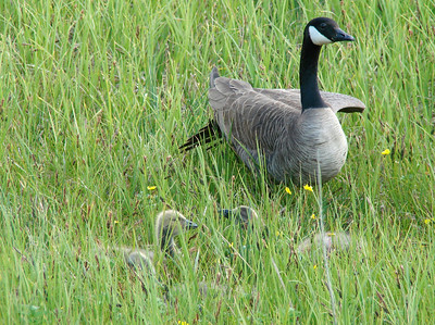 June 25, 2009 (Potter Marsh [from boardwalk], Anchorage, Alaska) -- Canada Goose with Goslings peeking out of the grass