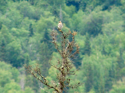 June 24, 2009 (Eagle River [Eagle River Nature Center] / Chugach State Park, Alaska) - Bohemian Waxwing