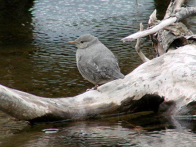 June 24, 2009 (Eagle River [Eagle River Nature Center] / Chugach State Park, Alaska) - young American Dipper awiting mother's return with the next meal