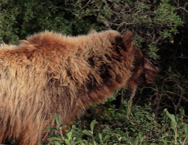 Bear Seen in Denali Park