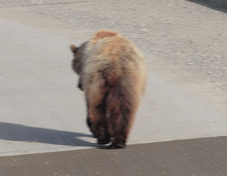 Grizzly bear walking on the road in Denali Park