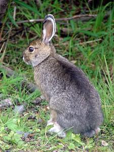 Snowshoe Hare @ Denali NP (Park Road [near Visitor Center])