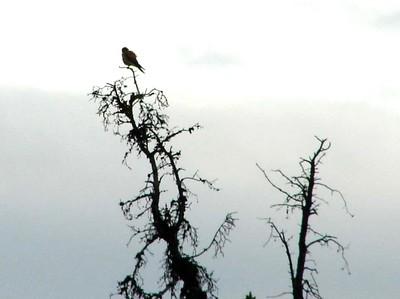 American Kestrel @ Denali NP (Park Road [near Visitor Center])