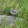 Wandering Tattler (Juvenile) @ Chugach SP (Rabbit Lake)