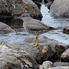 Wandering Tattler @ Chugach SP (Rabbit Lake)