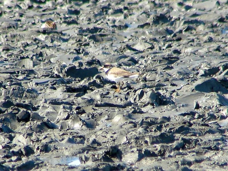 Semipalmated Plover @ Kenai River Flats