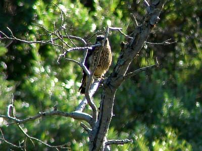 Merlin (Immature) @ Denali NP (Park Road)