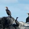 Double-crested Cormorant & Pelagic Cormorant @ Kachemak Bay