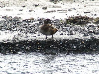 Harlequin Duck @ Savage River in Denali NP