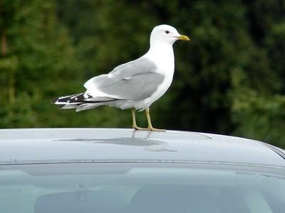 Mew Gull @ Denali NP (Visitor Center)