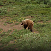 Grizzly bear. One 8 that we saw.