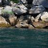 Harbor seal.