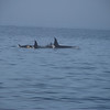 Young Orcas with moms.